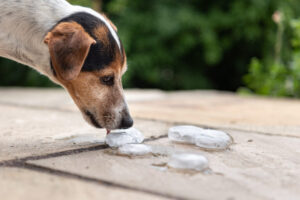 dog drinking ice cubes
