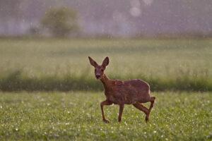 Roe deer in the rain